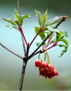 A Himalayan plant